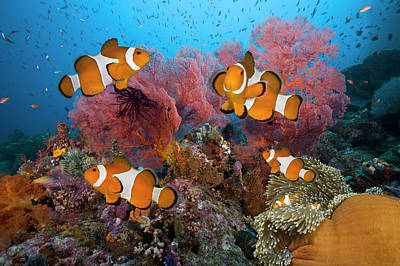 Photograph - Clownfish Family On Tropical Coral Reef by Jeff Hunter