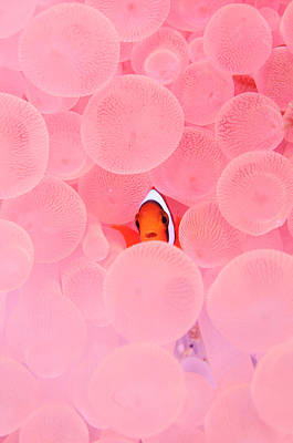 Photograph - Clownfish In Corals by Yusuke Okada/a.collectionrf