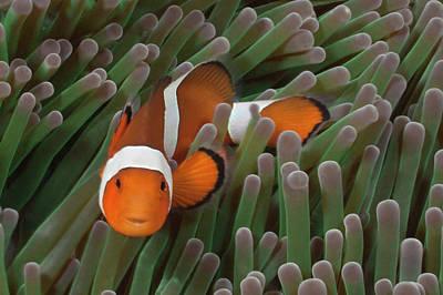 Photograph - Clownfish In Green Sea Anemone by Jeff Hunter