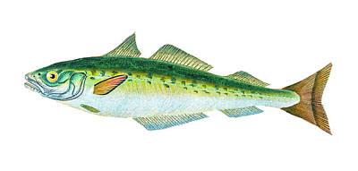 Beach Drawings - Coal Fish  by David Letts