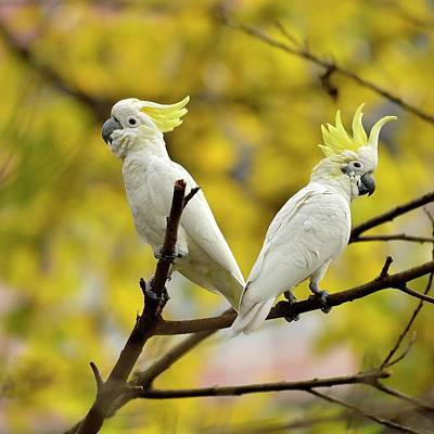 Cockatoo Wall Art - Photograph - Cockatoo Pair With Crest Raised by Boti