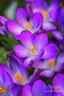 Photograph - Crocuses by Adrian Evans