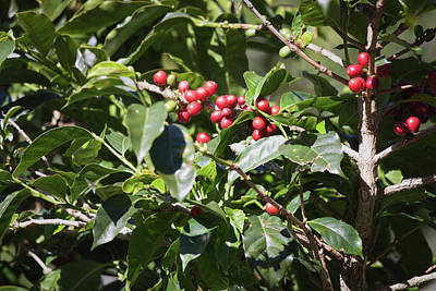 Photograph - Coffee Plant In Boquete, Panama by Tatiana Travelways