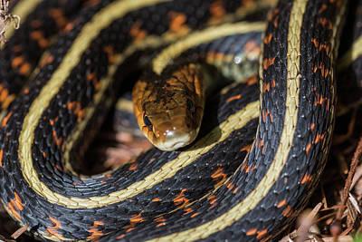 Photograph - Coiled Garter Snake by Robert Potts
