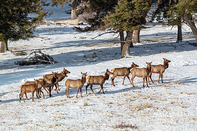 Steven Krull Royalty-Free and Rights-Managed Images - Cold Winter Morning Elk Herd by Steven Krull