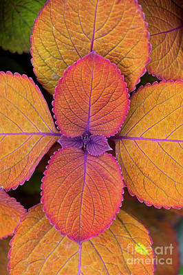 Photograph - Coleus Campfire Leaves  by Tim Gainey