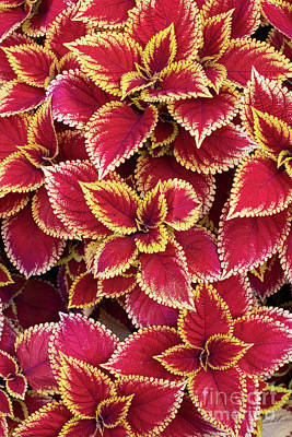 Photograph - Coleus Wizard Scarlet by Tim Gainey