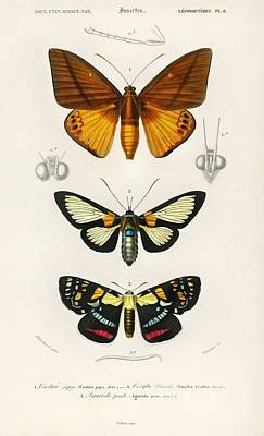 Amy Weiss - Collection of moths illustrated by Charles Dessalines D Orbigny   1806-1876  by Charles Dessalines
