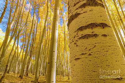 Photograph - Colorado Aspen Grove by Ronda Kimbrow