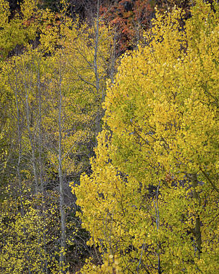 Photograph - Colorado Aspens by William Christiansen