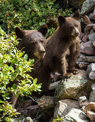 Steven Krull Royalty-Free and Rights-Managed Images - Colorado Black Bear Family by Steven Krull
