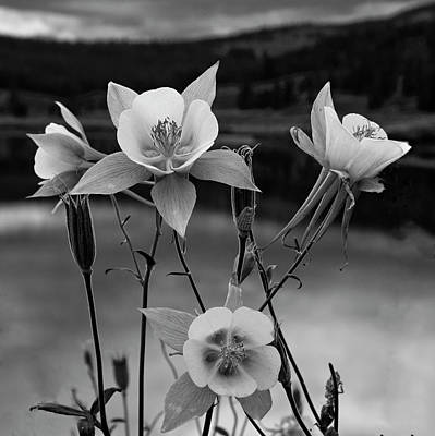 Photograph - Colorado Columbines In Black And White by Dave Dilli