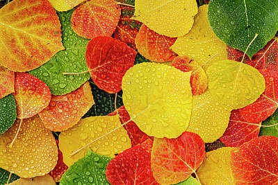 Photograph - Colorful Aspen Tree Leaves With Water Drops by Teri Virbickis