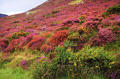 Photograph - Colorful Autumn In Wicklow. Blooming Heather by Jenny Rainbow