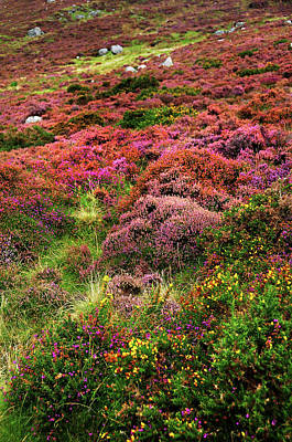 Photograph - Colorful Autumn In Wicklow.  Magenta Hills by Jenny Rainbow