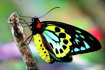 Photograph - Colorful Birdwing Butterfly by Jodijacobson
