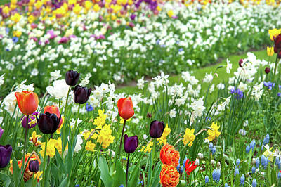 Photograph - Colorful Bloom Of Spring Flowers In Keukenhof by Jenny Rainbow