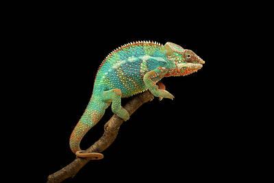 Photograph - Colorful Chameleon by Markbridger