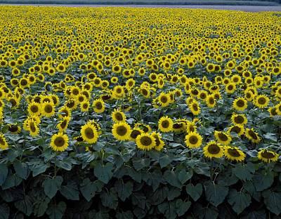 Painting - Colorful Field Of Sunflowers Near Beloit, Wisconsin By Highsmith, Carol M. by Highsmith Carol M