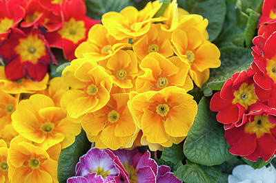 Photograph - Colorful Mix Of Primula Flowers 1 by Jenny Rainbow
