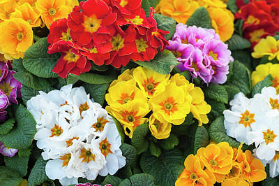 Photograph - Colorful Mix Of Primula Flowers 2 by Jenny Rainbow