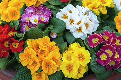 Photograph - Colorful Mix Of Primula Flowers by Jenny Rainbow