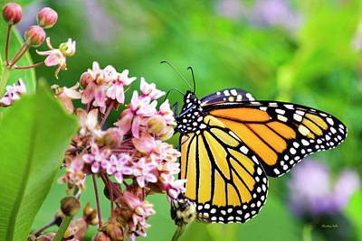 Photograph - Colorful Monarch Butterfly by Christina Rollo