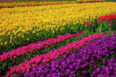Photograph - Colorful Rows Of Spring Tulips by Garry Gay