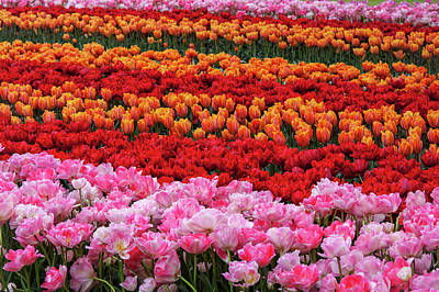 Photograph - Colorful Tulip Fields Of Keukenhof by Jenny Rainbow