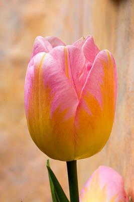 Photograph - Colorful Tulip by Jennifer Wick