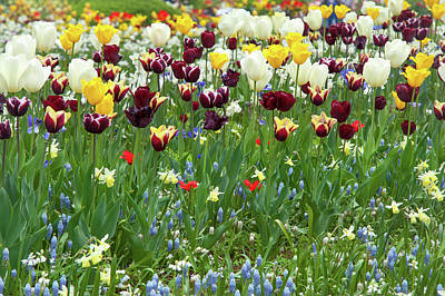 Photograph - Colorful Tulips Mix Border by Jenny Rainbow