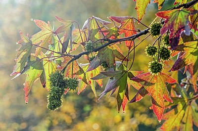 Photograph - Colors Of A Sweet Gum Tree by Frans Blok