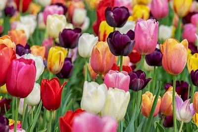 Photograph - Colour Tulips by Top Wallpapers