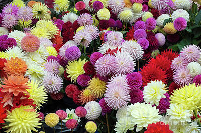 Photograph - Colourful Dahlia Flowers by Tim Gainey