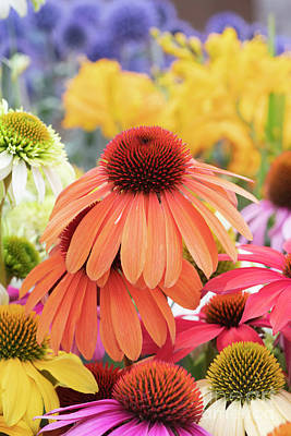 Photograph - Colourful Echinacea  by Tim Gainey