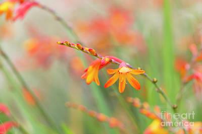 Photograph - Colourful Montbretia Venus Flower  by Tim Gainey