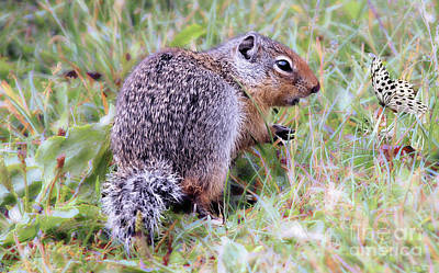 Photograph - Columbia Ground Squirrel  by Elaine Manley