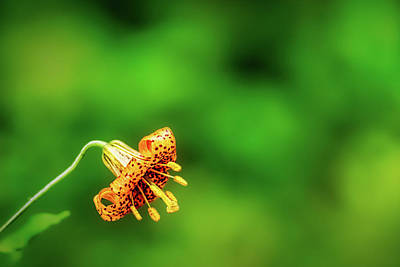 Photograph - Columbia Tiger Lily by Stuart Litoff