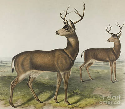Drawing - Columbian Black-tailed Deer By Audubon by John James Audubon