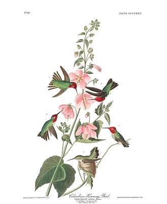 Travel Rights Managed Images - Columbian Humming Bird by John Audubon Royalty-Free Image by John Audubon