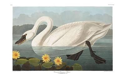 Animal Portraits - Common American Swan by John Audubon by John Audubon