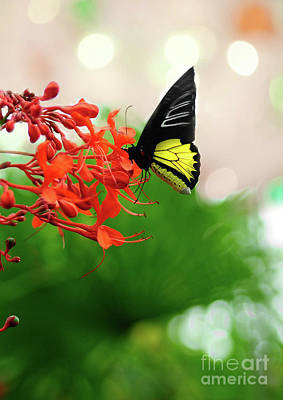 Photograph - Common  Birdwing by Elaine Manley