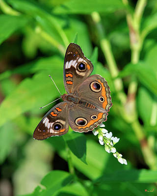 Photograph - Common Buckeye Butterfly Din0276 by Gerry Gantt