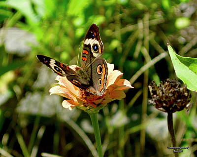 Beach House Throw Pillows - Common Buckeye Butterfly by Greg Joens