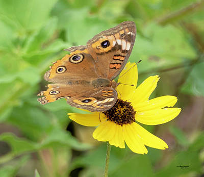 Photograph - Common Buckeye Butterfly by Sally Sperry