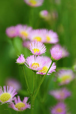 Granger - Common Fleabane Flowers by Christina Rollo