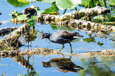Photograph - Common Gallinule With Reflection by William Tasker