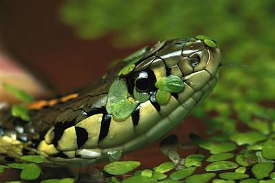 Photograph - Common Garter Snake Thamnophis by Heidi & Hans-juergen Koch/ Minden Pictures