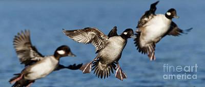 Photograph - Buffleheads Landing Approach by Sue Harper