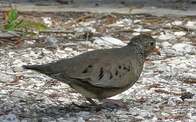 Photograph - Common Ground Dove by Sally Sperry